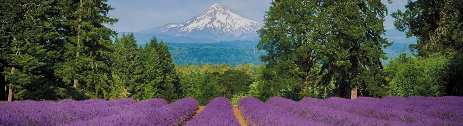 Long rows of blooming lavender surrounded by tall firs with a view of snow-covered Mt. Hood in far distance on a summer's day.