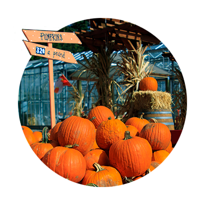 In front of the glass greenhouse, a fall display of hay bales, cornstalks and a big pile of fat orange pumpkins for sale at Fir Point Farms in Aurora