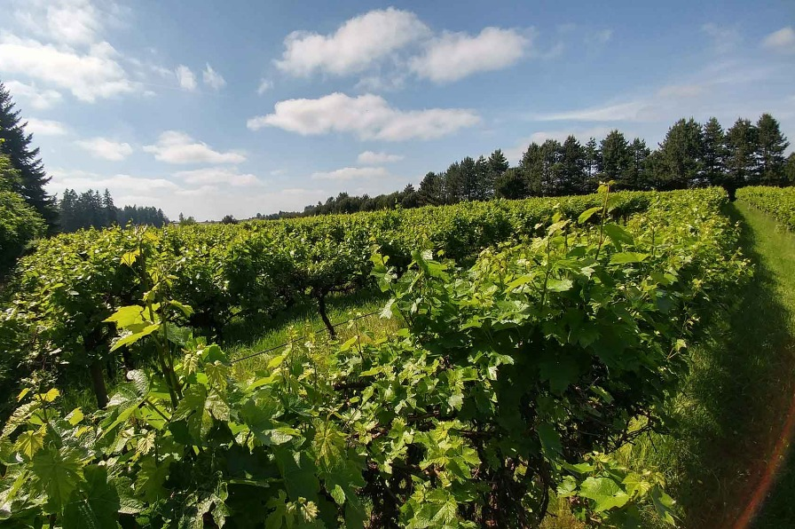 Lush grapevines at Forest Edge Vineyard in Oregon City with blue sky and fluffy white clouds overhead.