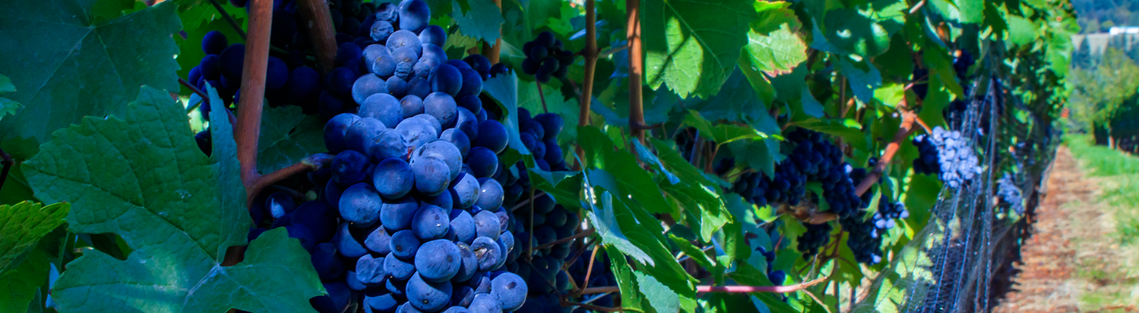 Dark blue-purple Pinot Noir grapes ripe and full of juice on the vine, just waiting to be harvested at King's Raven Winery