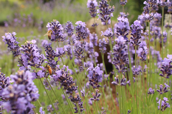 close up of honey bees on lavender flowers