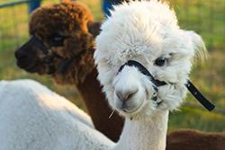 katherine belarmino article alpaca