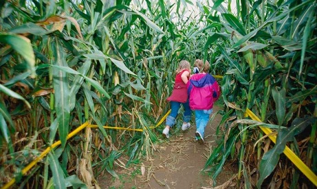 Kids have fun in the corn maze while on an outing to the pumpkin patch to find the perfect pumpkins to take home to carve in oregons mt hood territory