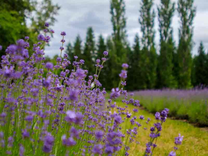 clusters of lavender at Eagle Creek Lavender in Oregons Mount Hood Territory