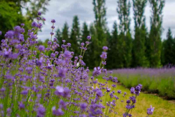 Stalks of purple lavender in the field at Eagle Creek Lavender in Oregon's Mount Hood Territory