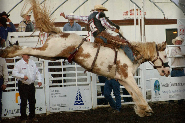 Rodeo cowboy hangs on for dear life riding a bucking horse with its back feet high in the air in the saddle bronc compeitition
