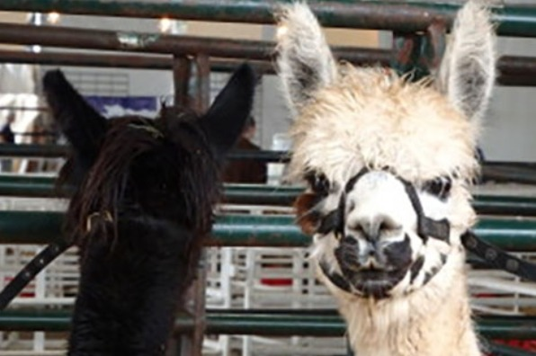 Close-up of white llama face and long neck and the back of head of black one in pen at the Oregon Flock and Fiber Festival