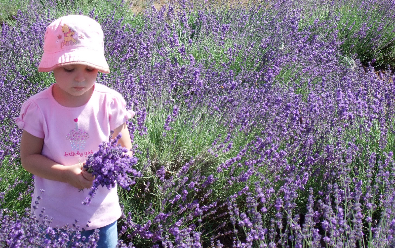 Little girl dressed in a pink hat and top stands in the lavender field picking fresh lavender in Oregons Mt. Hood Territory.