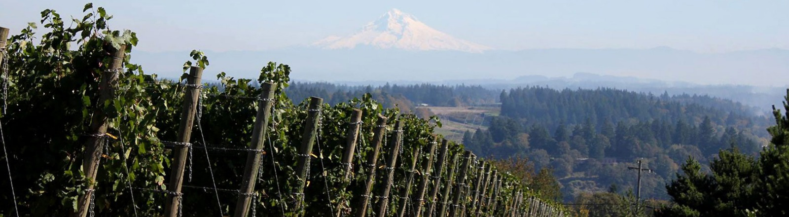 Pete's Mountain Vineyard's long row of end posts with rows of green grape vines and view of snow covered Mt. Hood in distance