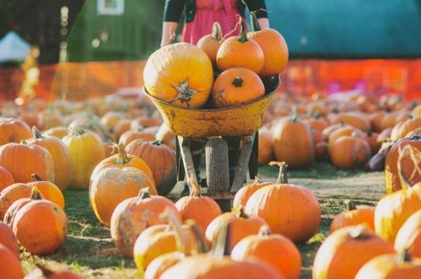 Girl wields a wheelbarrow laden with pumpkins through hundreds of pumpkins all waiting to become Halloween jack-o-lanterns.