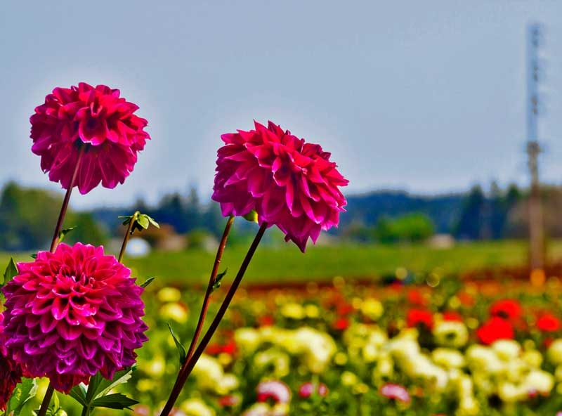 dahlias at Swan Island dahlia festival in Canby, Oregons Mount Hood Territory