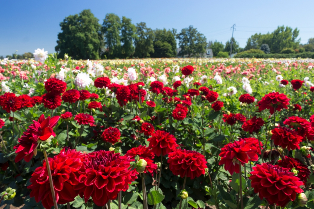 Red Dahlias at Swan Island Dahlias