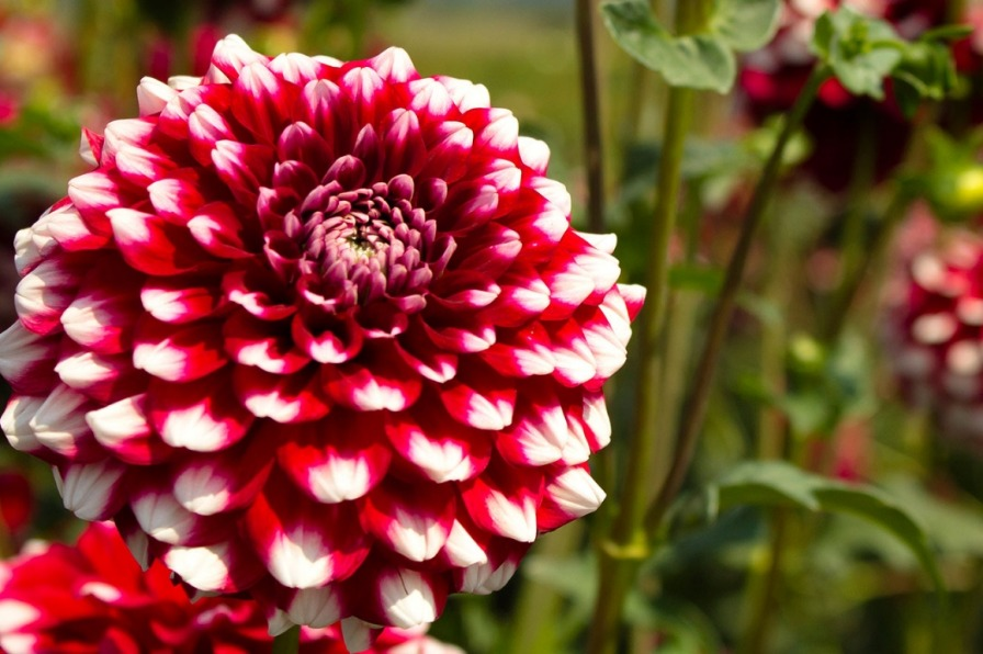 Checkers, a red dahlia with white tipped petals is a showy bloom at Swan Island Dahlias in Canby.