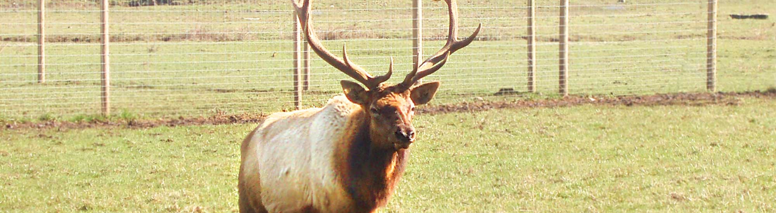 Majestic Rocky Mountain Bull Elk with antler rack running across fenced pasture at Rosse Posse Elk Farm in Molalla