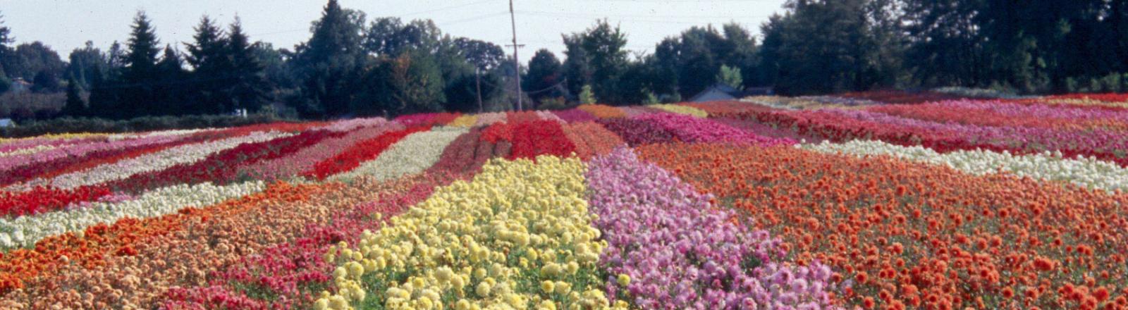 dahlias in multi colored rows