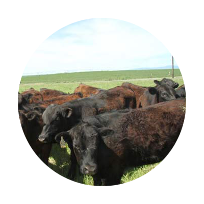 Heard of black and dark reddish brown Aberdeen Angus cattle in pasture