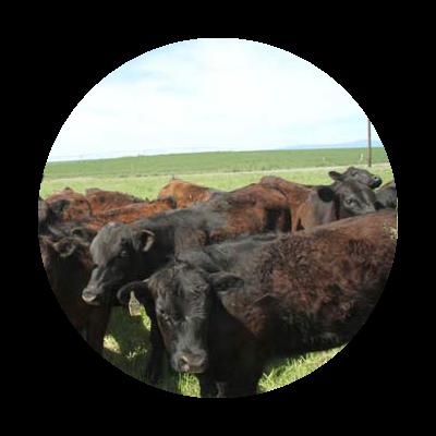 Heard of black and dark reddish brown Aberdeen Angus cattle in pasture
