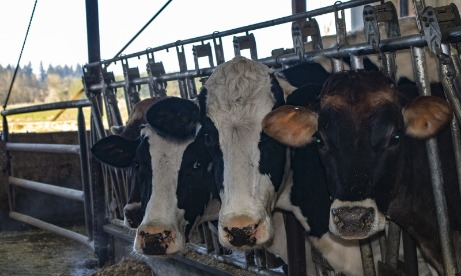 Four big eared, brown eyed dairy cows at their feeding stalls at TMK Farms & Creamery intently eye the photographer.