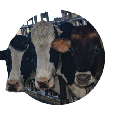 Three dairy cows at TMK Cr4eamery in Canby look out through the metal bars of their feeding stalls as they await milking