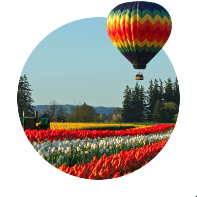Multicolored hot air balloon floats above a field of thousands of yellow daffodils and rows of red and white tulips