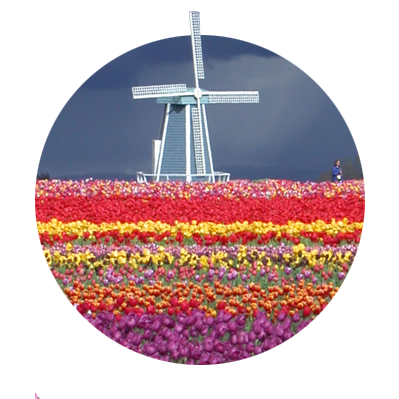 Field of multicolor tulips with blue & white windmill against an approaching storm dark sky at Wood Shoe Tulip Festival