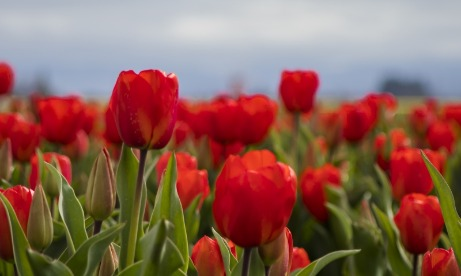 Closeup of bright red tulip field against a gray sky at Wooden Shoe Tulip Festival