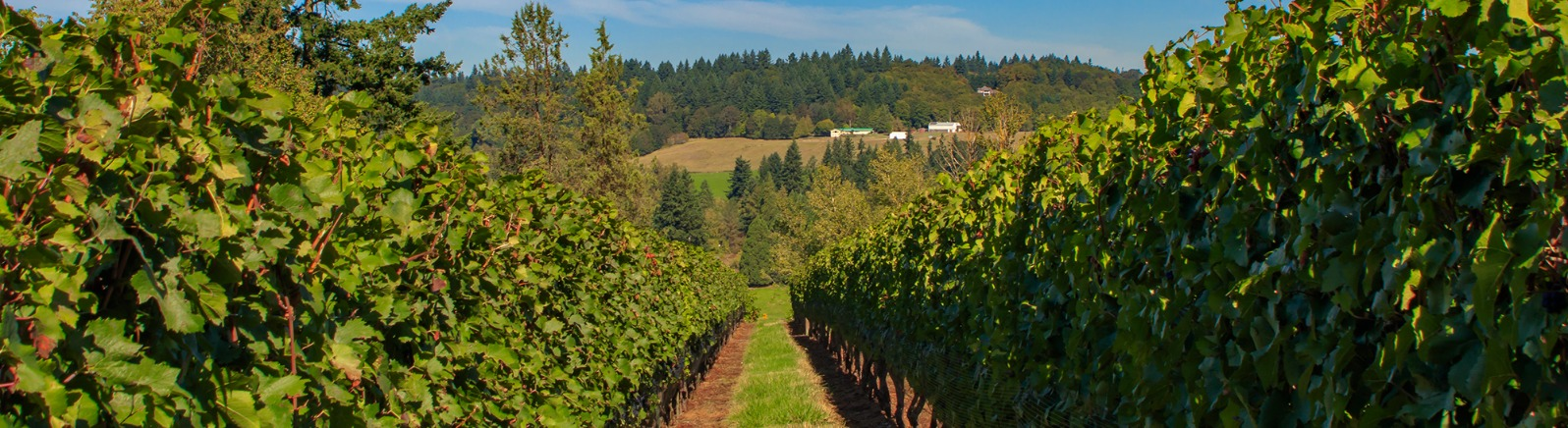 A blue sky view of a farm on the far hillside as seen through two long rows of grapevines at King's Raven Vineyard