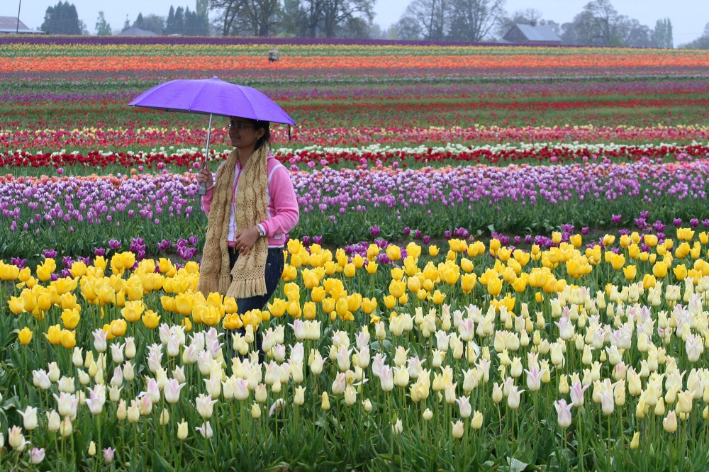 Walk through Tullips with Umbrella at Wooden Shoe Tulip Festival in Oregons Mount Hood Territory.