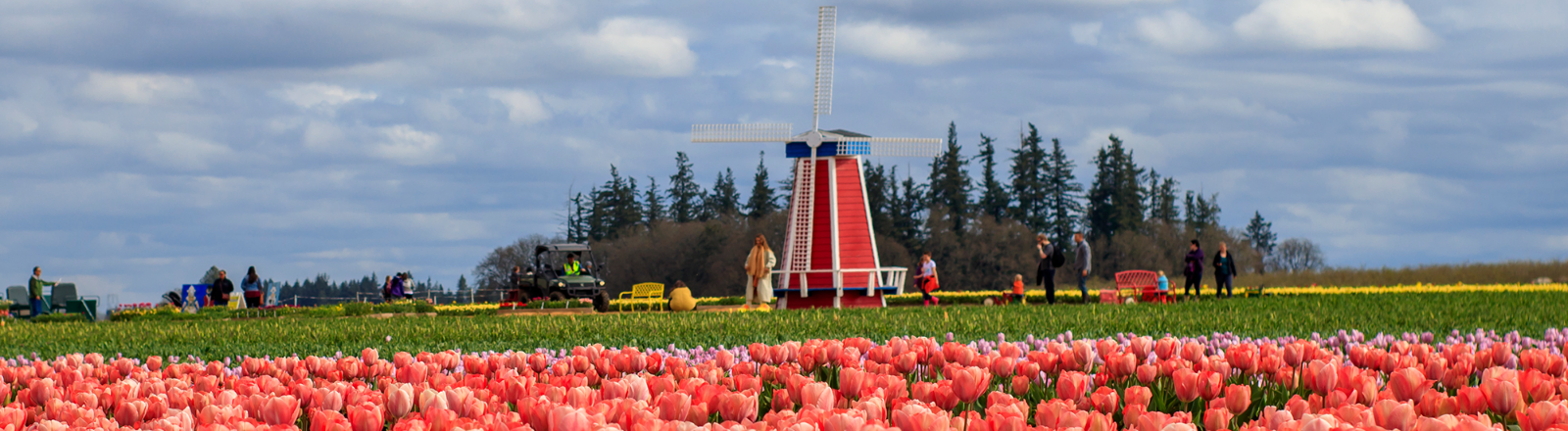 Field of pink and red variegated tulips and windmill in distance at Wooden Shoe Tulip Festival in Oregon's Mt. Hood Territory