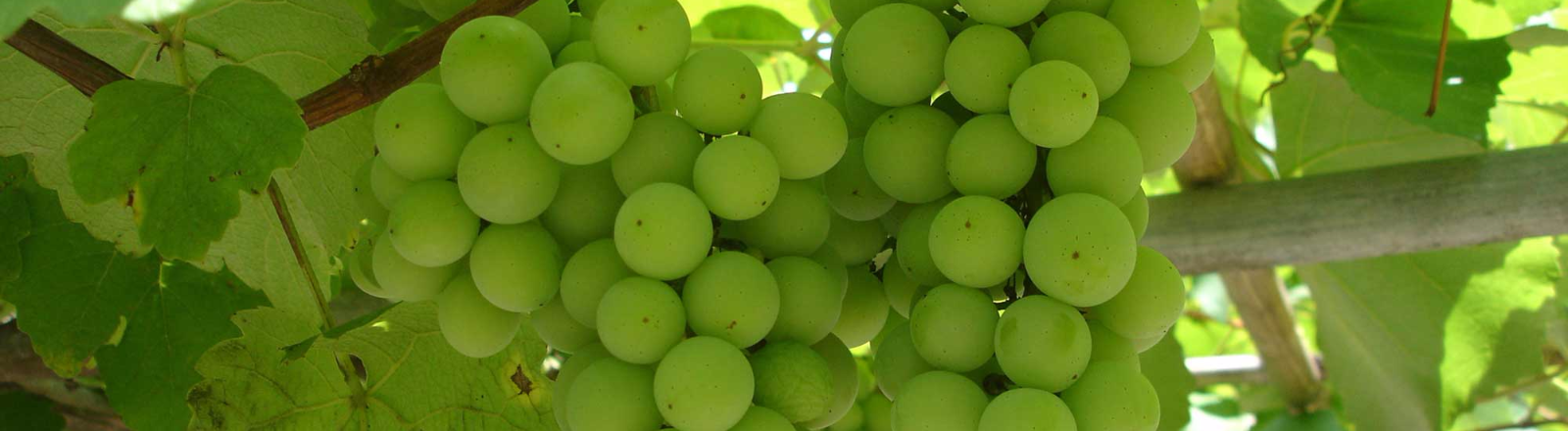 Two large clusters of green wine grapes hide underneath the vines at a local vineyard in Oregon's Mt. Hood Territory.