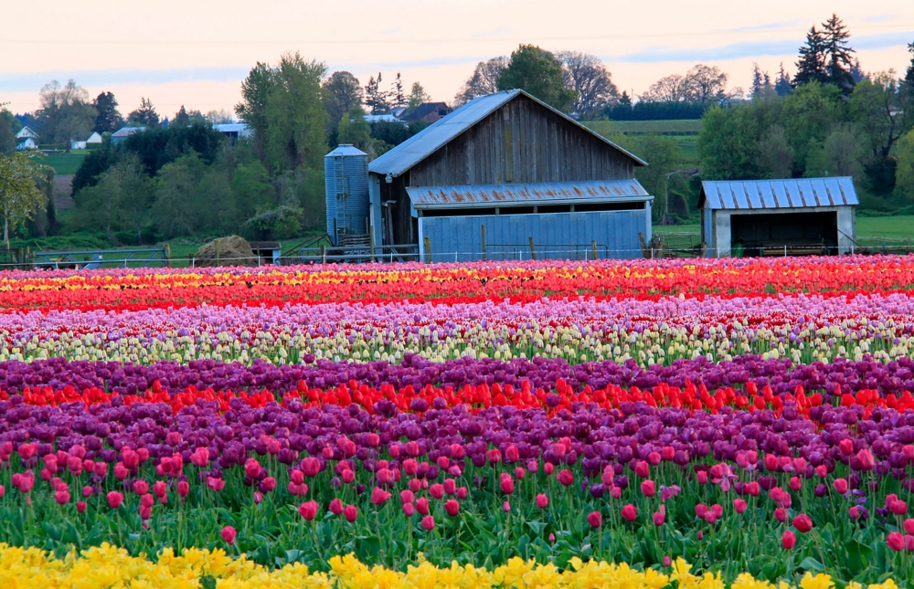 rows of tulips in multi colors and blue barn