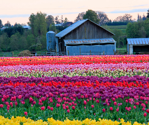 Rows of thousands of vibrantly colored tulips in forefront of a blue roofed barn and blue painted sheds and silo on farmland