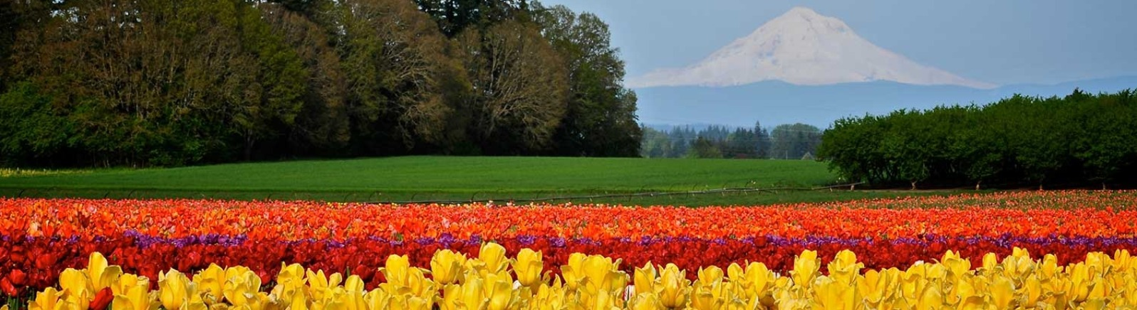 Thousands of yellow, red, purple and orange tulips flood the field with color at the Wooden Shoe Tulip Festival in Woodburn.