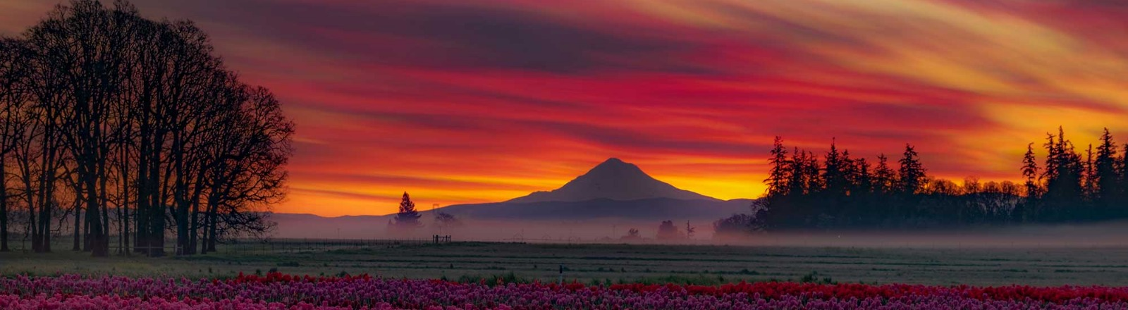 A sunrise of pink, purple and yellow sky over Mt. Hood is matched by the field of pink and purple tulips at Wooden Shoe Tulip farm