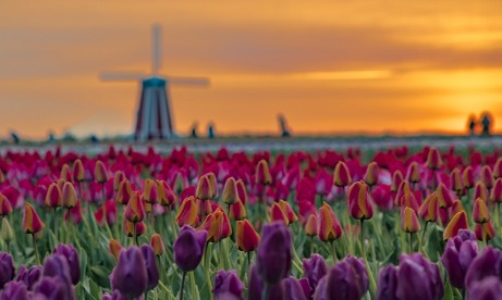Wooden Shoe Farm purple, orange, pink and red tulips and windmill at sunrise in Mt. Hood Territory